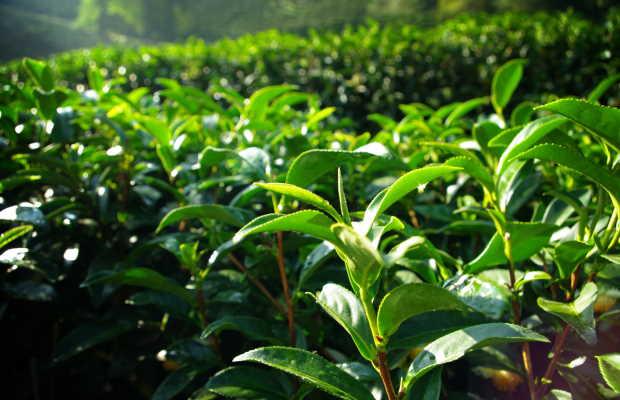 Πράσινο Τσάι σε Φάρμα
